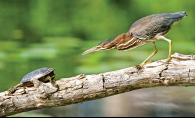 A green heron and a turtle face off on a log in a pond.