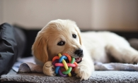 A puppy plays with a toy.