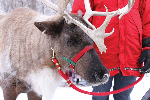 A reindeer at Plymouth's Old Fashioned Christmas event.