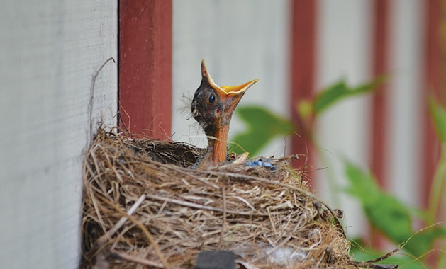.A baby bird in a nest calls out for food.